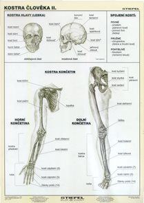 Kostra člověka II - tabulka A4