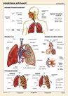 Soustava dýchací - tabulka A4