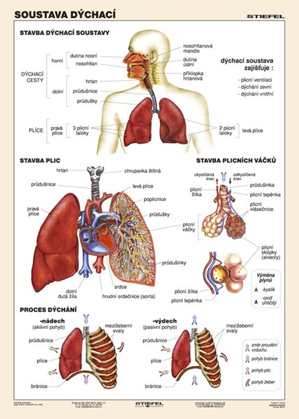 Soustava dýchací - tabulka A4 - lamino (21×30 cm)