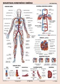 Soustava krevního oběhu - tabulka A4