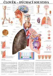 Člověk - dýchací soustava