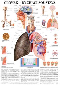 Člověk - dýchací soustava - tabule 67×96 cm (š/v)