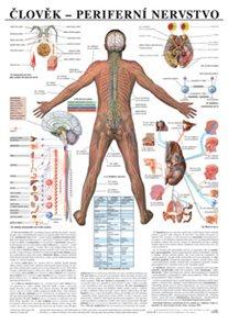 Člověk - periferní nervstvo