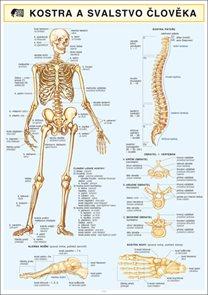 Kostra a svalstvo člověka
