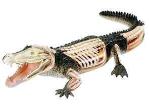 Anatomický model X-ray - krokodýl