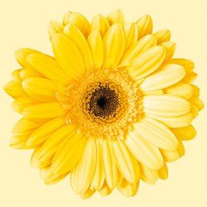Ubrousky 33 × 33 - Žlutá gerbera