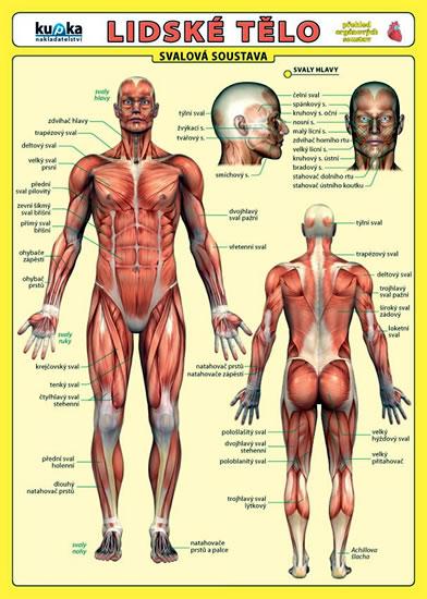 Lidské tělo - Přehled orgánových soustav - Svalová soustava - Kupka Petr a kolektiv - 17,5x24,5